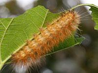 オビヒトリの幼虫