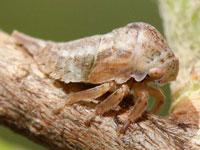 オビマルツノゼミの幼虫