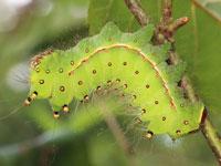 オナガミズアオの幼虫