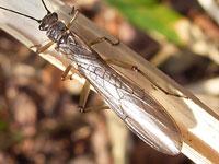 オナシカワゲラ属の一種
