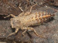 オニヤンマの幼虫