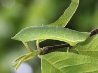 オオアヤシャクの幼虫