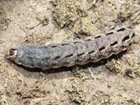 オオバコヤガの幼虫