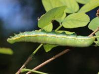 オオエグリシャチホコの幼虫