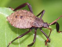 オオヘリカメムシの幼虫