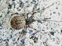 クモの図鑑 ヒメグモ科他