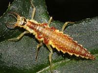 ヒメオオクサカゲロウの幼虫