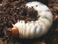 甲虫の幼虫図鑑