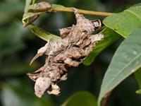 オオミノガの幼虫