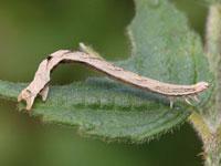 オオネグロウスベニナミシャクの幼虫