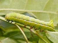 オオシマカラスヨトウの幼虫