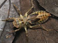 オオシオカラトンボの幼虫
