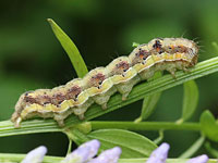オオタバコガの幼虫