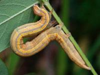 オオウンモンクチバの幼虫