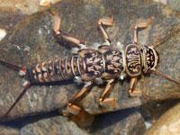 オオヤマカワゲラの幼虫