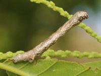 オレクギエダシャクの幼虫