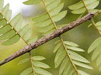 オスグロトモエの幼虫