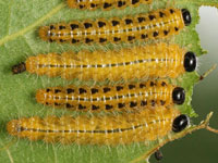 ポプラハバチの幼虫