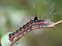 リンゴケンモンの幼虫