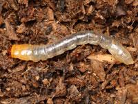 ルリゴミムシダマシの幼虫