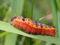 サクラケンモンの幼虫