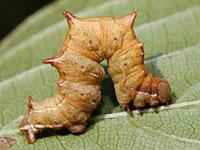 サラサエダシャクの幼虫