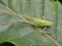 ササキリモドキ科の一種の幼虫