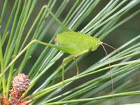 サトクダマキモドキの幼虫