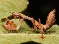 サツマヒメカマキリの幼虫