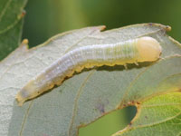セダカシャチホコの幼虫