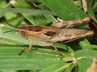 セグロイナゴの幼虫