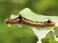 セグロシャチホコの幼虫