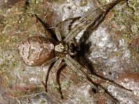 セマルトラフカニグモ