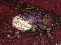 セミヤドリガの幼虫