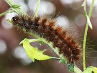 セスジヒトリの幼虫