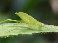 セスジツユムシの幼虫