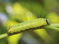 シマケンモンの幼虫