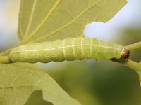 シマキリガの幼虫