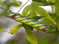 シモフリスズメの幼虫