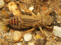 シオカラトンボの幼虫