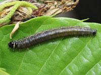 シリグロハマキの幼虫