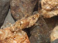 シリナガマダラカゲロウの幼虫
