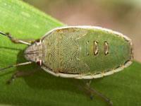 シロヘリカメムシの幼虫