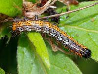 シロヘリキリガの幼虫