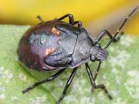 シロヘリクチブトカメムシの幼虫