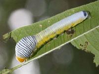 シロモンフサヤガの幼虫