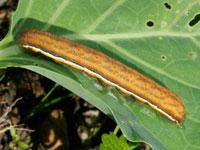 シロシタヨトウの幼虫