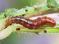 ソトシロオビナミシャクの幼虫