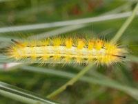 スゲドクガの幼虫