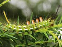 スギドクガの幼虫